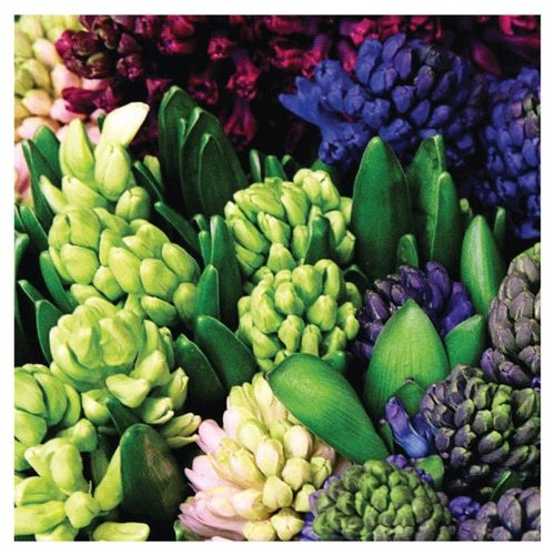 English Accent Hyacinth Gift Wrap